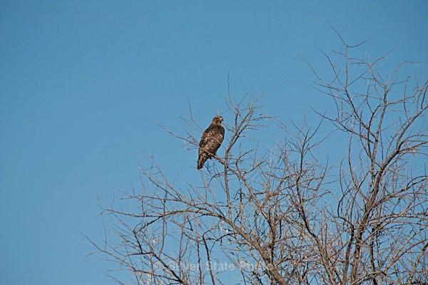 Hawk - Nevada Birds