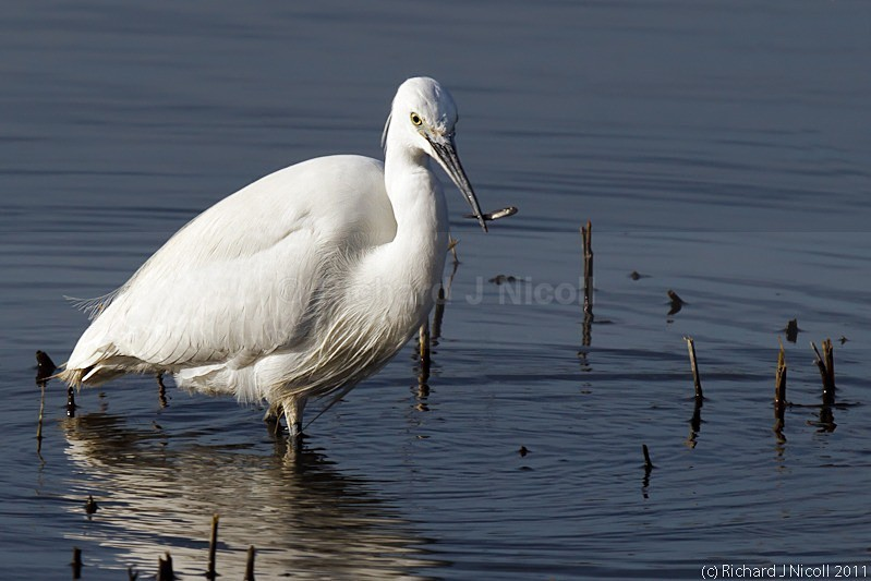 Little Egret (Egretta garzetta) fishing - LRPS Panel