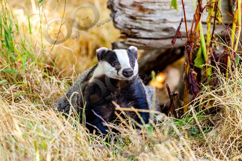 badger Meles meles-8775 - UK Wildlife