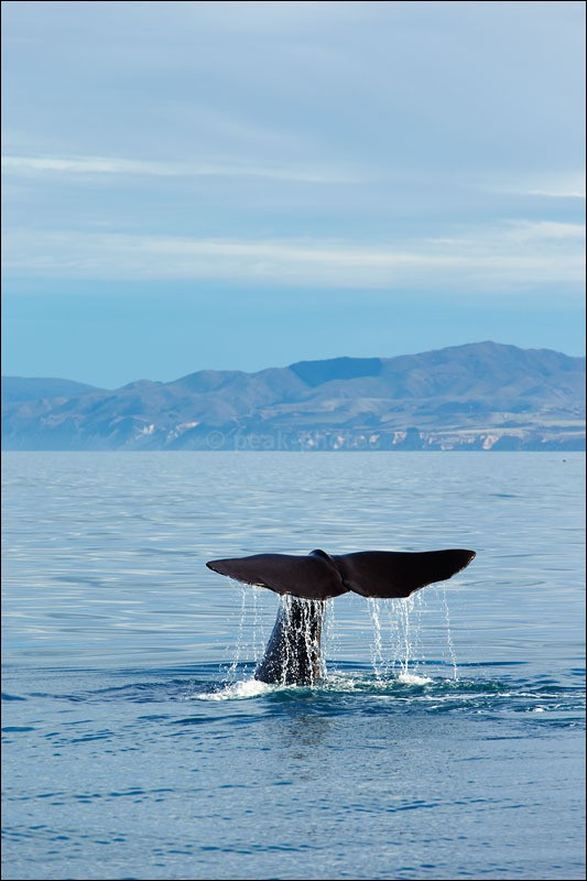 Whale Watching in Kaikoura - Photographs of New Zealand