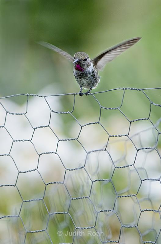 Anna's Himmingbird on Chicken Wire - Backyard Birds of Mercer Island