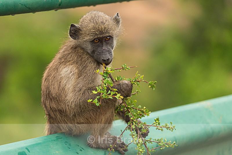Innocent - Baboon