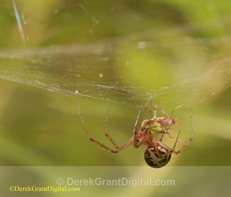 Linyphia triangularis European Sheetweb Spider New Brunswick Canada - Spiders of Atlantic Canada
