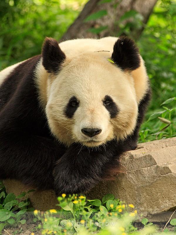 Giant Panda portrait, Beijing Zoo, China - Panda
