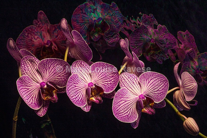 Orchid Dream - Creative and Abstract
