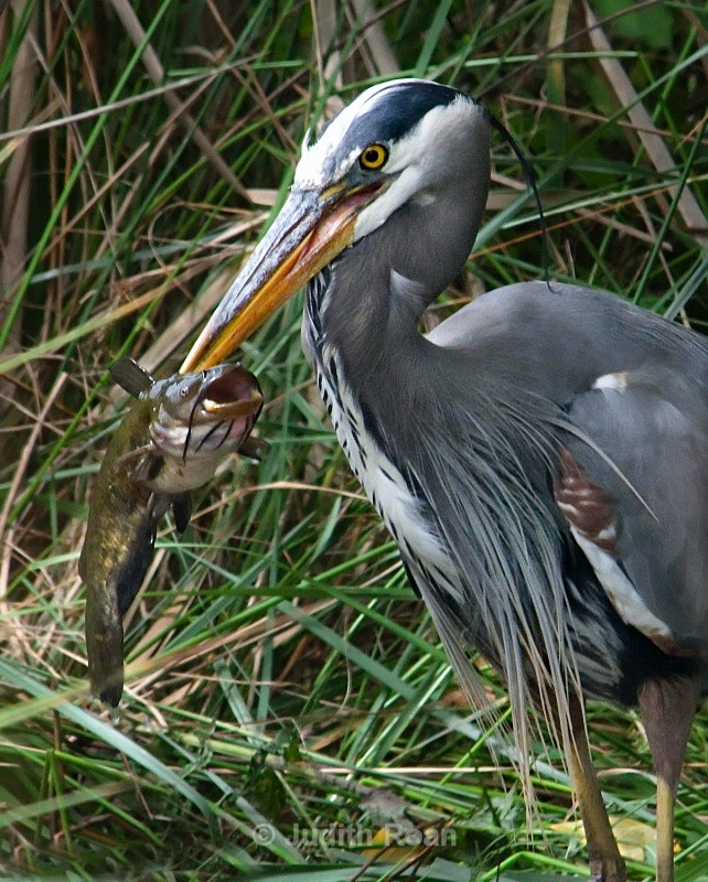 Great-blue Heron with fish - Birds
