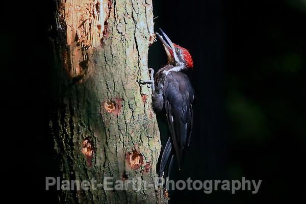 Pilated Woodpecker 4 - Around The World