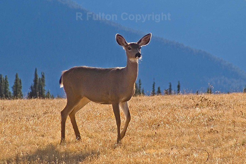 Roe Deer USA - Nature