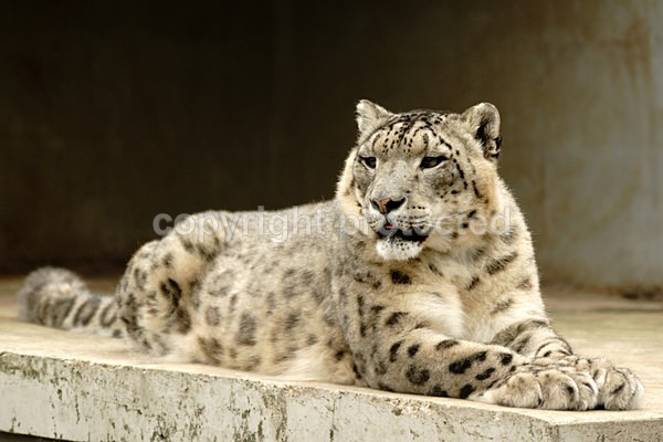 Snow Leopard - K2 - Cat Survival Trust - Big and Small Wild Cats
