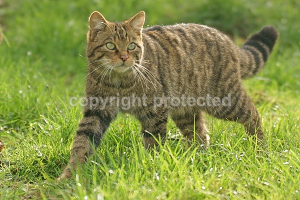 Scottish Wild Cat - Small Cats
