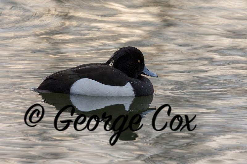 Tufted Duck Attenborough - Attenborough Nature Reserve