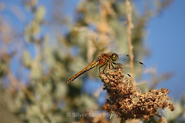 Dragonfly - 'Wildlife' (Big & Small)