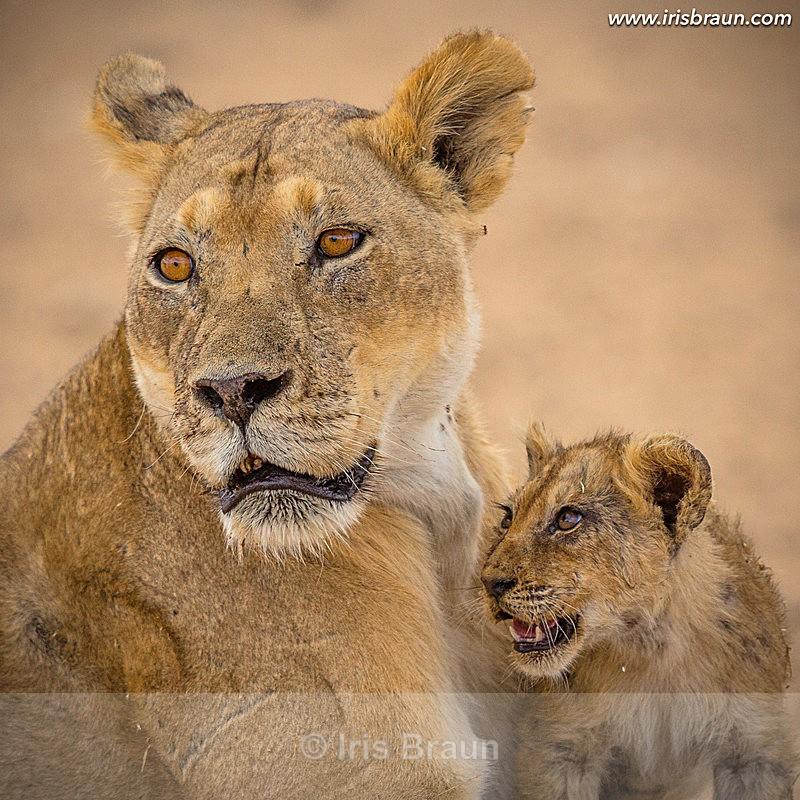 Trust - Lion