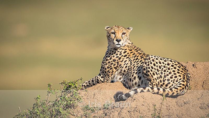 Mara Queen - Cheetah