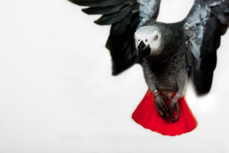 African grey in Flight - Animals