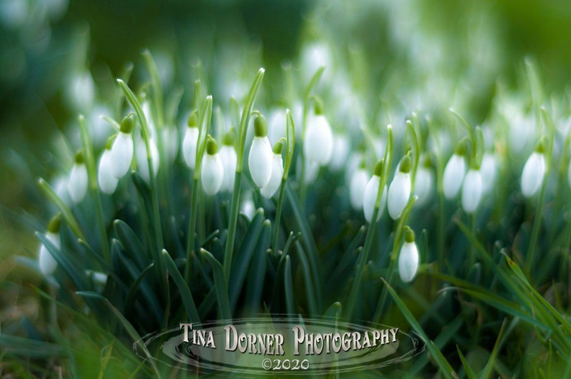 Snowdrops from Plant and Flower Portfolio by Tina Dorner Photography