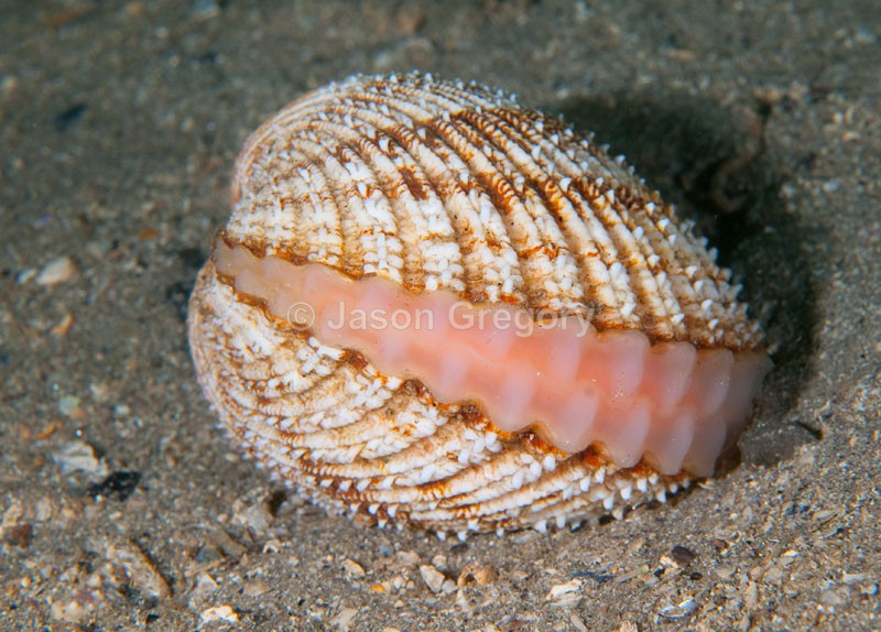 Acanthocardia echinata - Sea Snails, Bivalves & Lamp Shells (Mollusca etc)