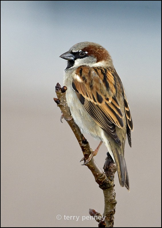House Sparrow - Birds