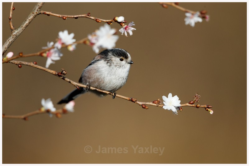 Long-tailed Tit amongst Winter Blossom  - Latest Work