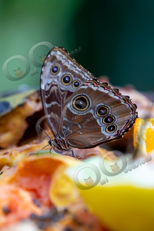 Blue morpho Butterfly Morpho peleides butterfly-5415 - Insects from around the world