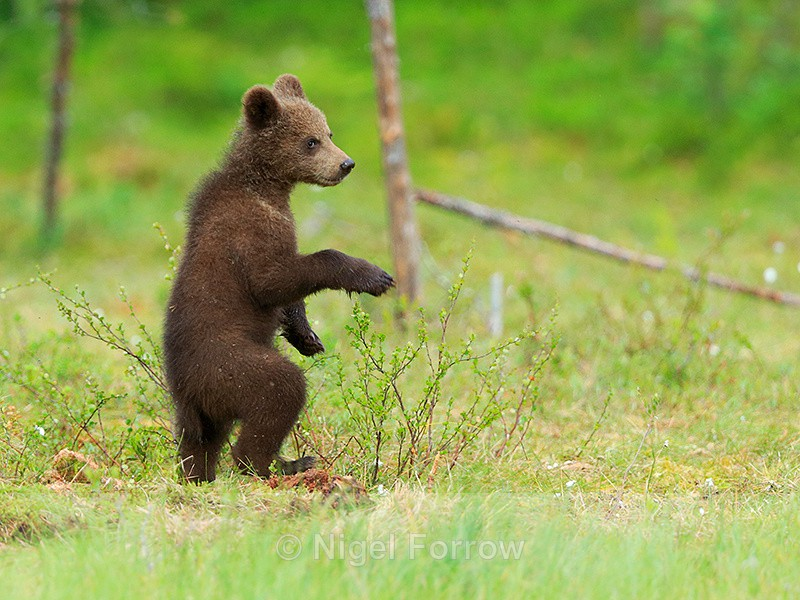 Brown Bear cub standing upright at Martinselkonen - Bear