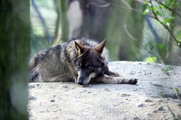 Lone Wolf Resting 1 - Wolves
