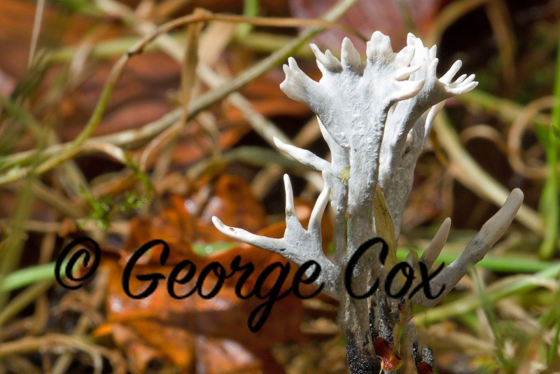 stag's horn fungus Xylaria hypoxylon