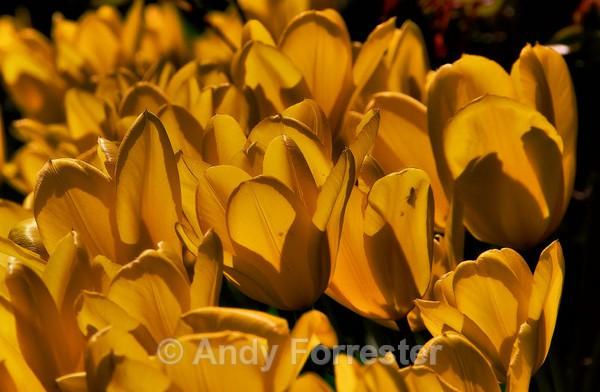 Tulips - Low Light Flowers