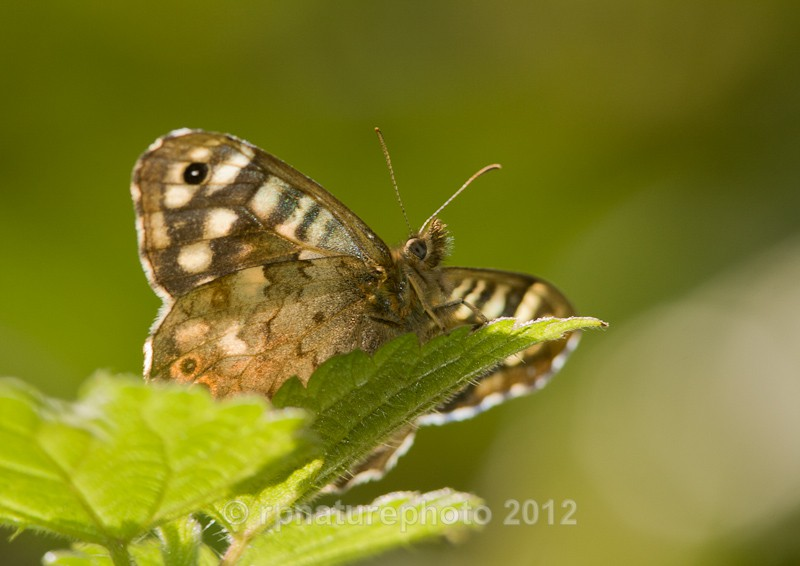 Speckled Wood - Pararge aegeria RPNP0005 - Insects & Spiders