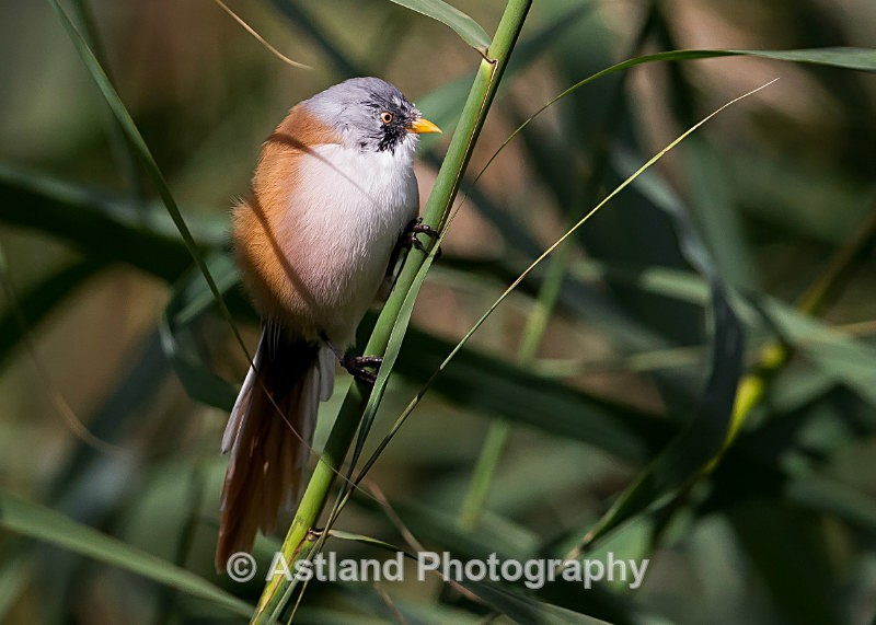 Astland Photography, Bird and Wildlife Images, Susan and Peter Wilson, U.K.