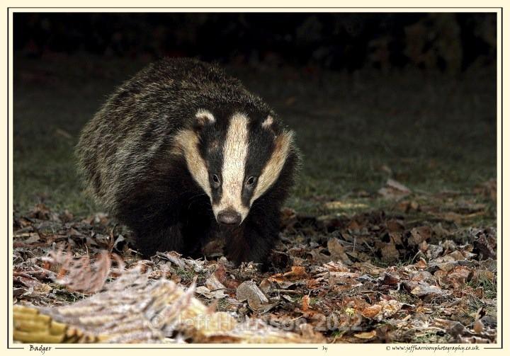 'Big Daddy'  (image Badg 001) - Mammals