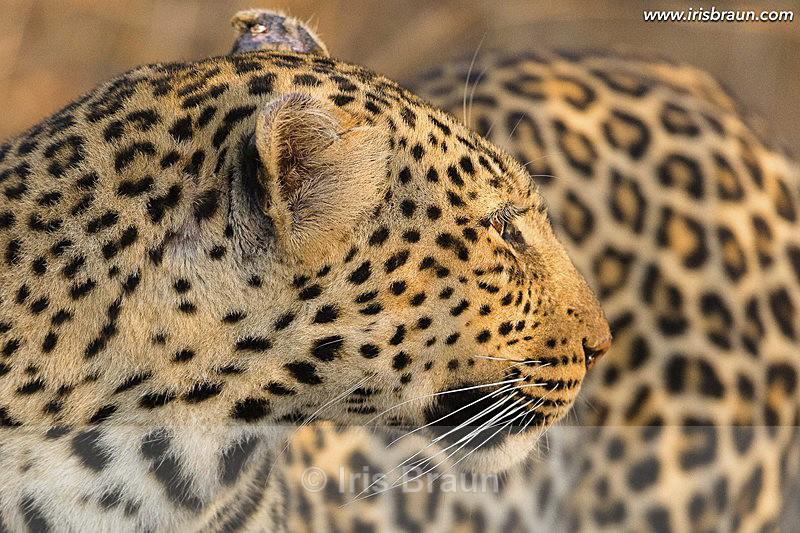 Golden Moment - Leopard