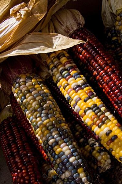 union sq indian corn - New York