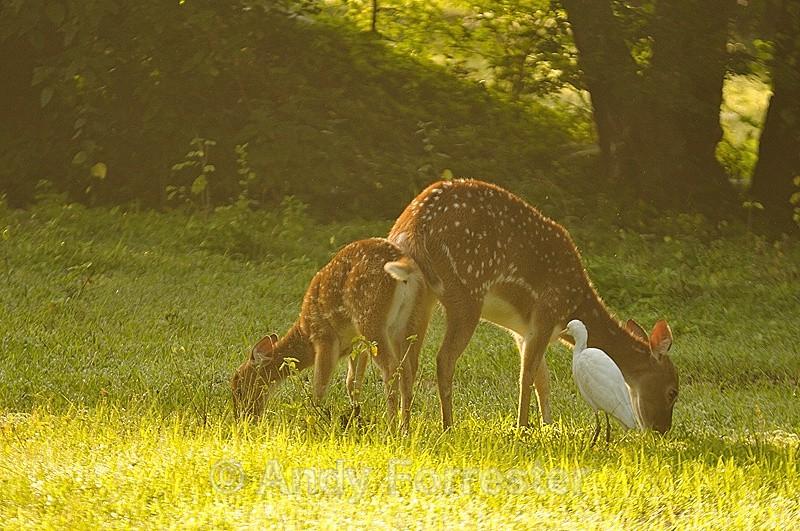 Spotted Deer - Yala Sri Lanka
