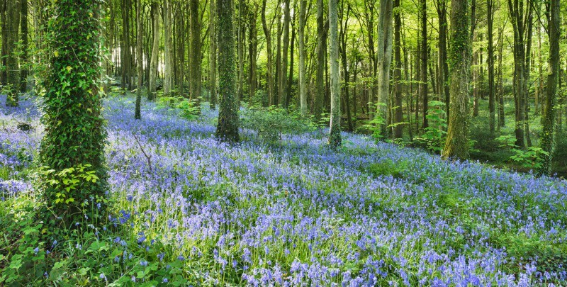Carpet Of Blue - nr Saundersfoot - Inland
