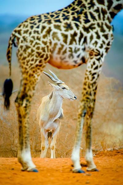 Eland; Eselenkei, Kenya