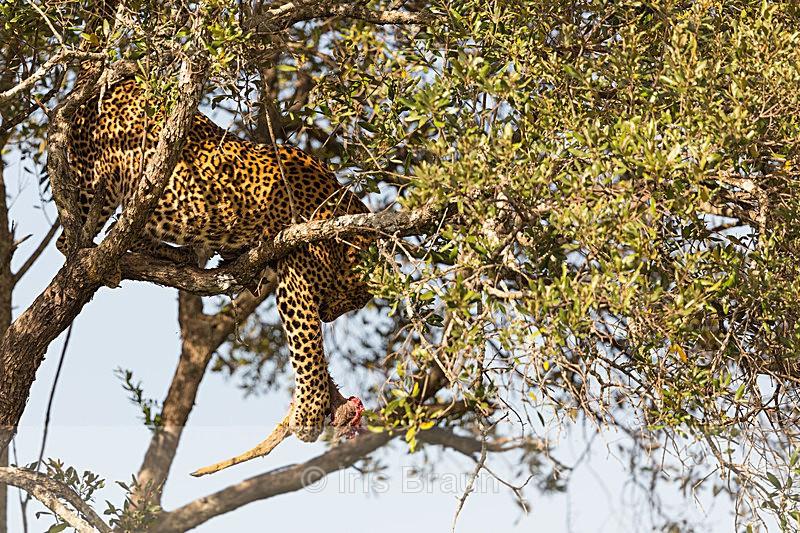 Fishing - Leopard
