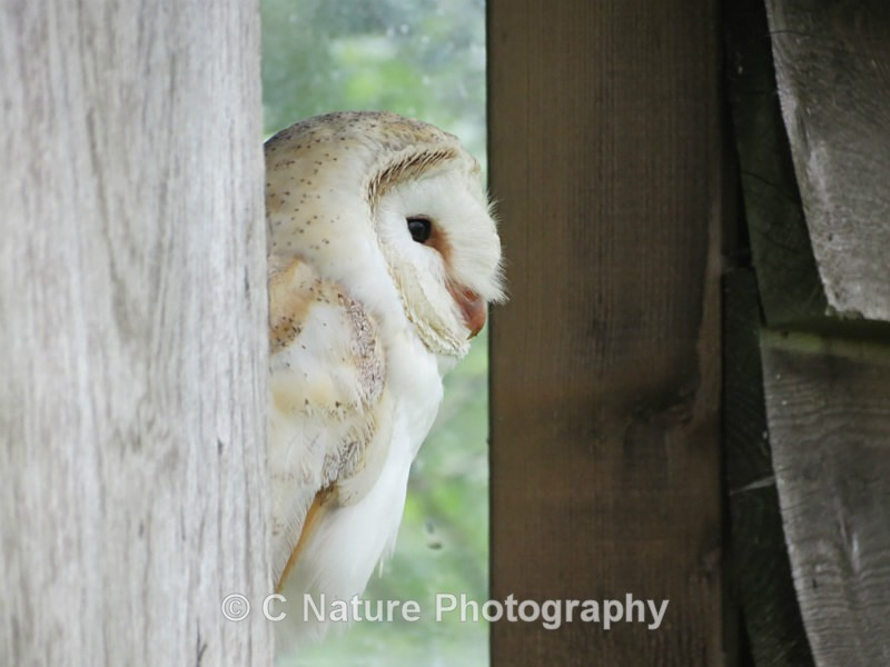 Barn Owl - Birds