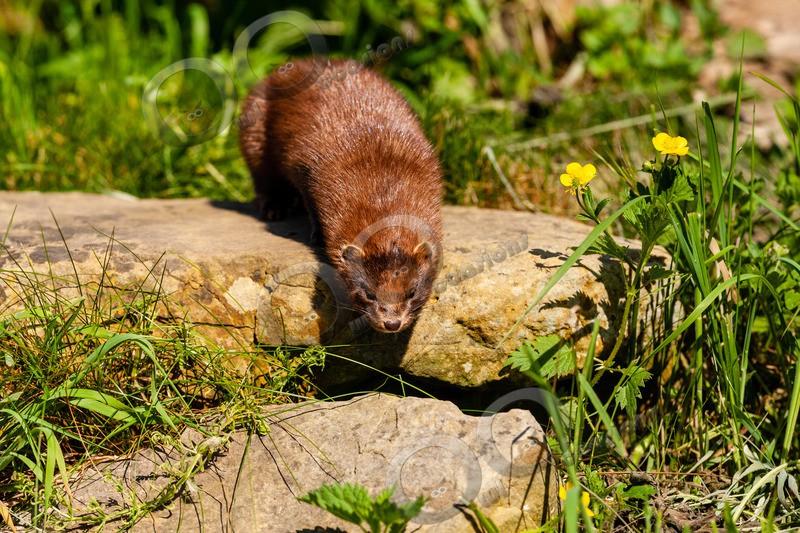American mink Mustela vison-6558 - UK Wildlife