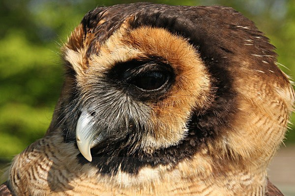 Asian Brown Wooded Owl - BIRDS