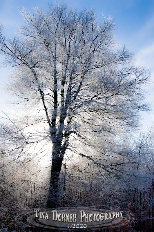 Tree in Hoar Frost Winter portfolio by Tina Dorner Photography,  Forest of Dean and Wye Valley, Gloucestershire
