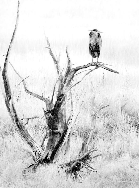 Great Blue Heron - Yellowstone