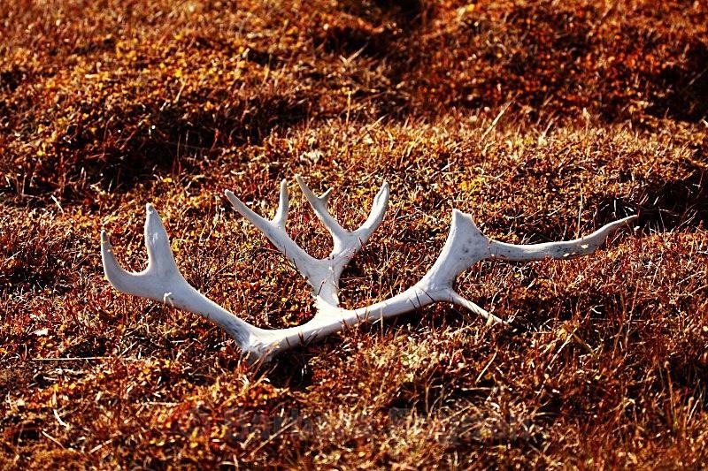 Reindeer antler 9863 - Summer time
