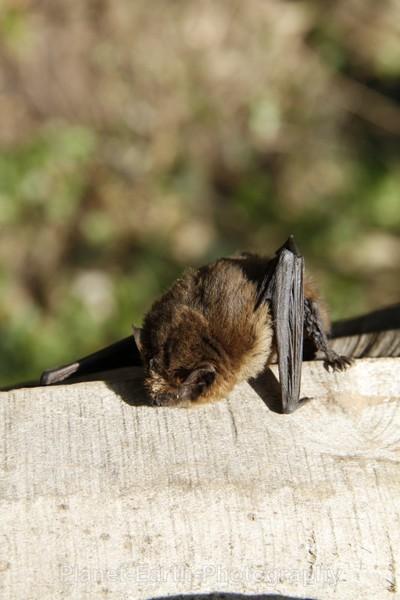 Pipistrelle 4 - UK Wildlife