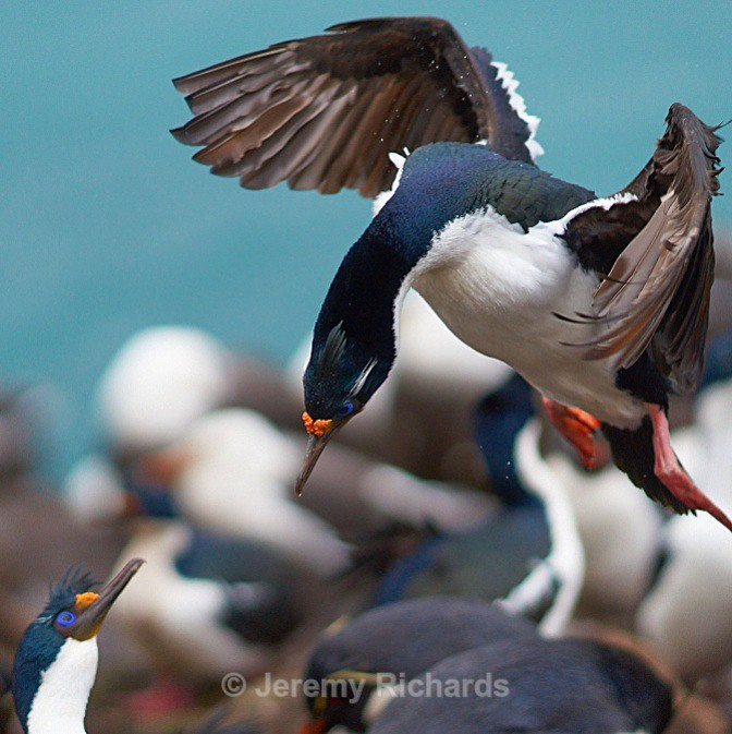Imperial Cormorant landing - Saunders Island