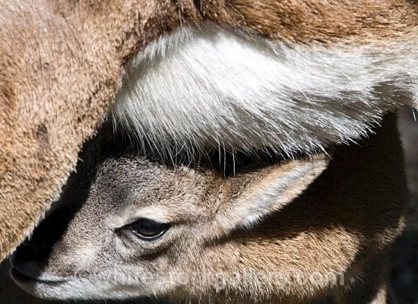 Deer - Wildlife and Animals