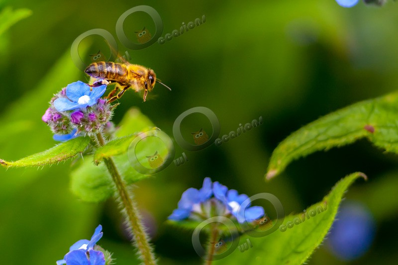 honey bee Apis mellifera-4958 - Insects from around the world