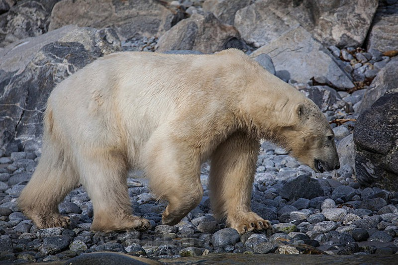 Polar bear 7260 - Trip with MS Expedition August 2016