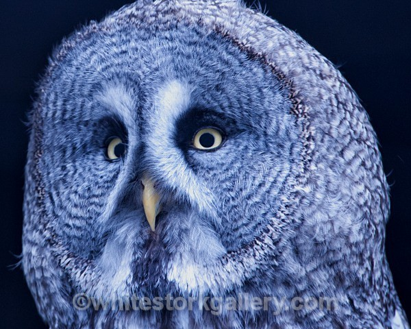 Great Grey Owl - Wildlife and Animals