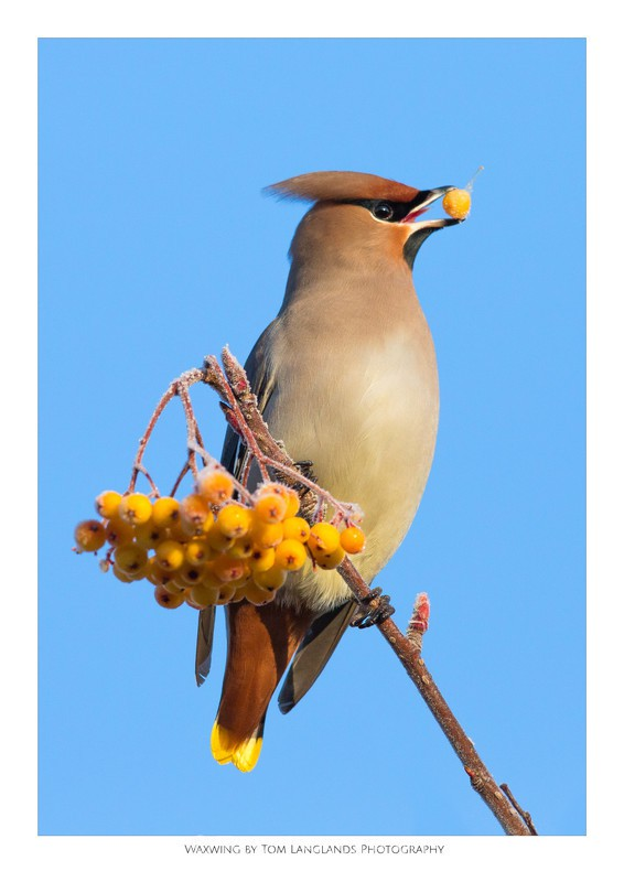 Waxwing - Fine Art Prints